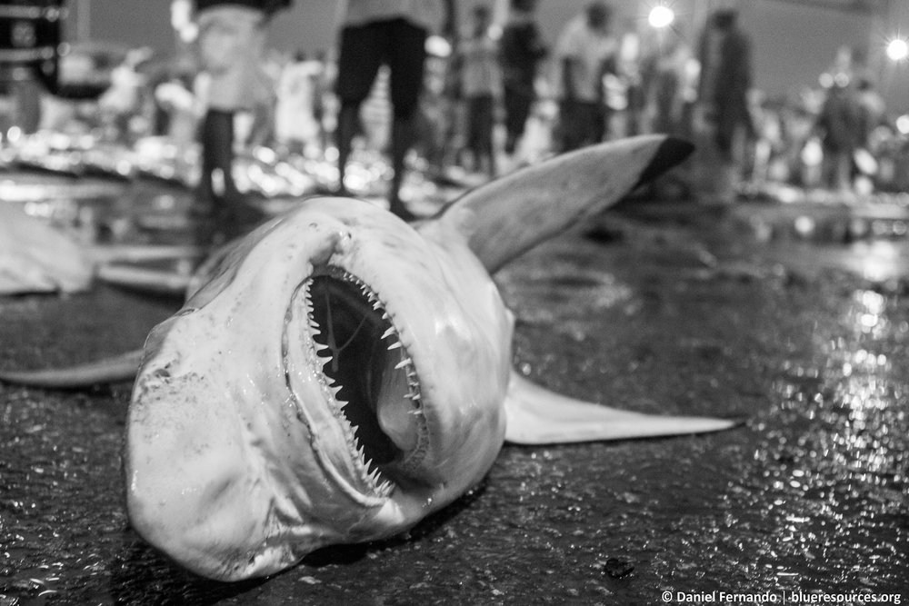 Shark at the market awaiting the auction.