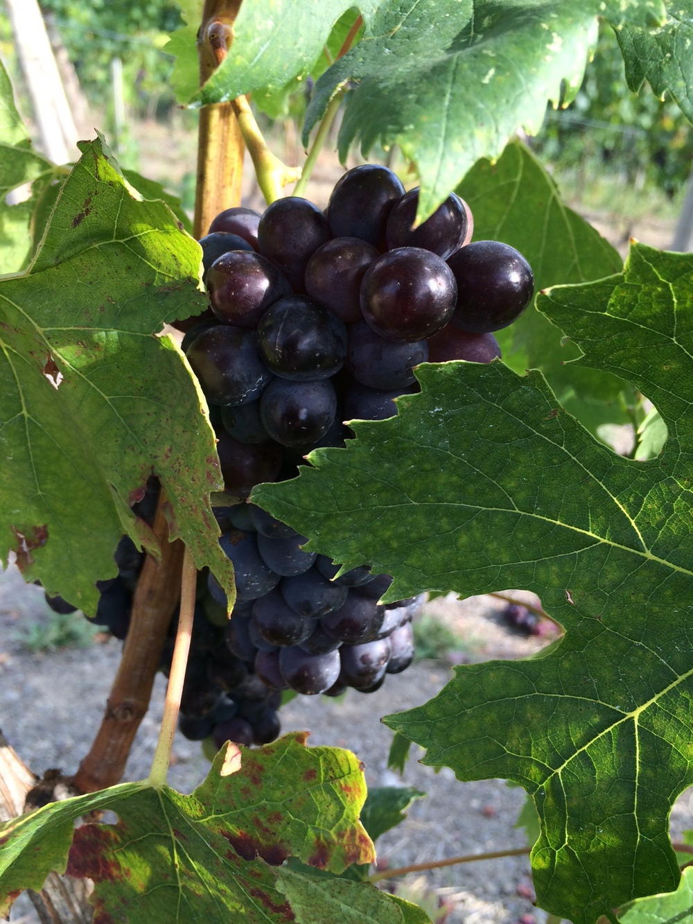 Grapes on the vine at Castiglion Del Bosco