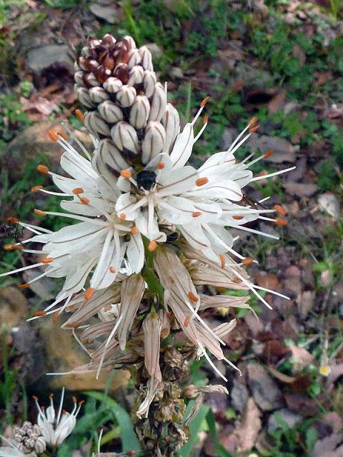 Flor del Gamón (Asphodelus albus)   FOTO FGZ