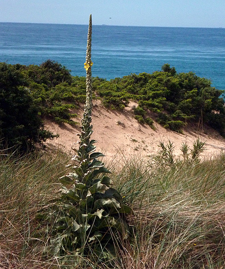 Gordolobo (Verbascum thapsus)     FOTO FGZ