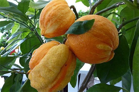 Citrus Bizarria . La más curiosa de las formas. FOTO:  Wikipedia