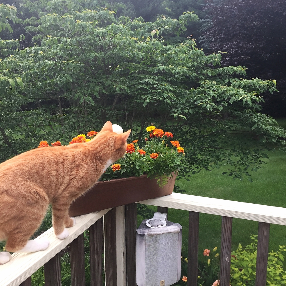 Dewey admiring the marigolds before they began to fail.