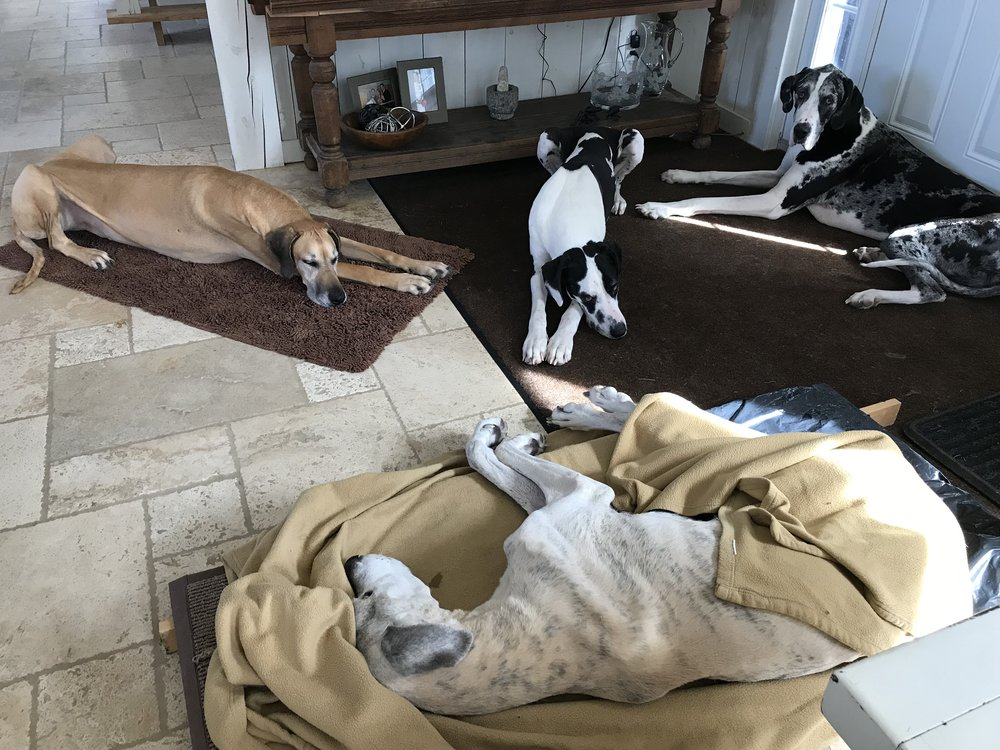 Pitou, having been euthanized, is surrounded by his pack - Ginger (left), Zeus (middle), Rodrigue (right).