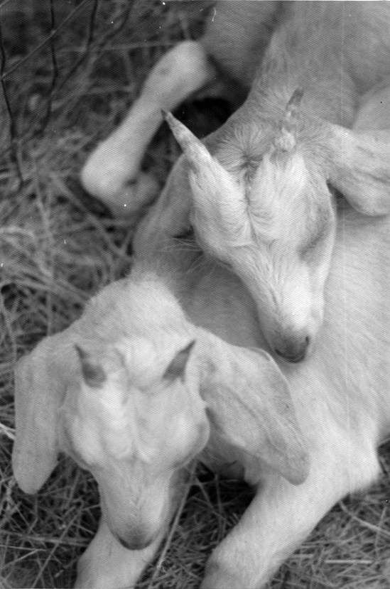 Goats, 1976