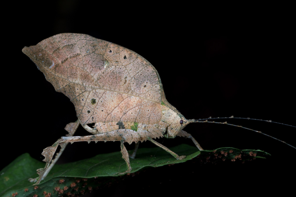 One of the many species of insects that live in the rainforest. This katydid displays incredible mimicry of a decomposing leaf! Image Credit:  Jon Suh