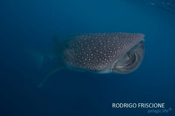 Whale Shark RF.jpg