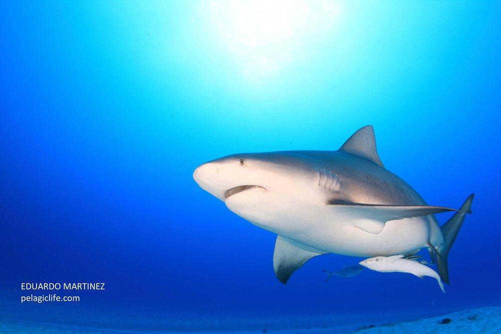 99 Tiburon Toro - Eduardo Martinez - Cancun - Febrero 2010.jpg