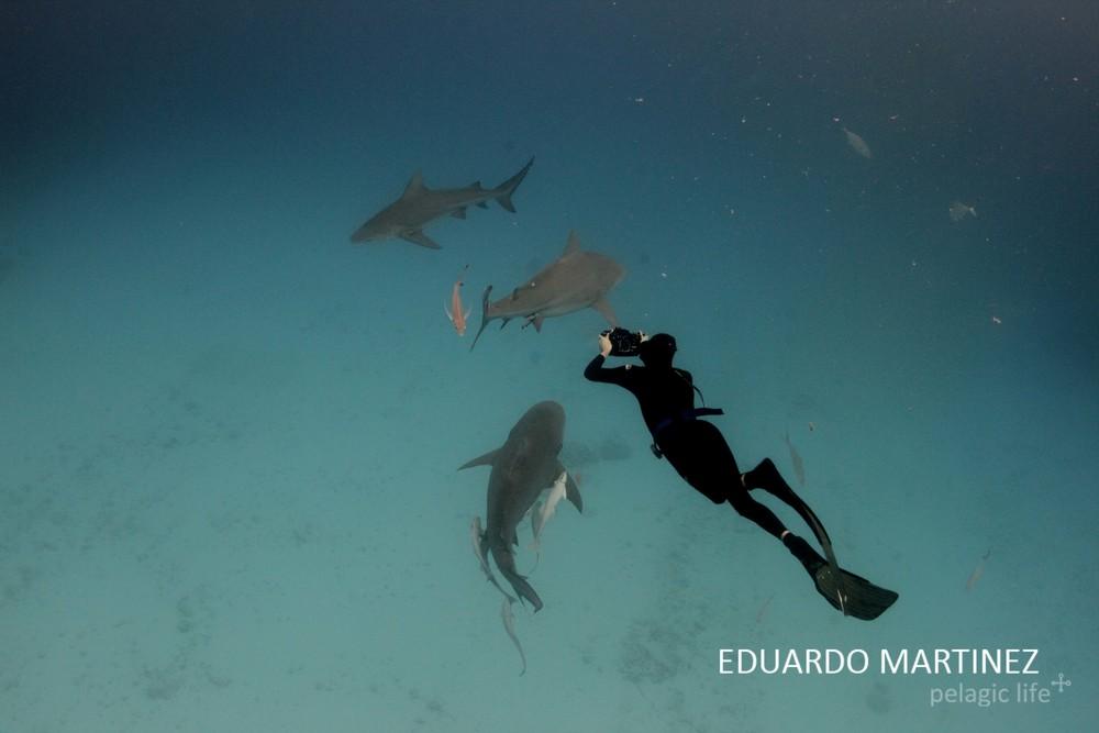 556 Tiburon Toro - Eduardo Martinez - Playa del Carmen - Enero 2013.jpg
