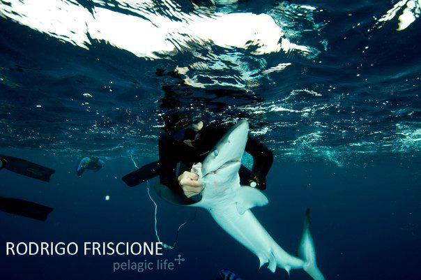 147 Shark Haphazard & Stripped Marlin - Rodrigo Friscione  - Magbay - Noviembre 2011 copy.jpg