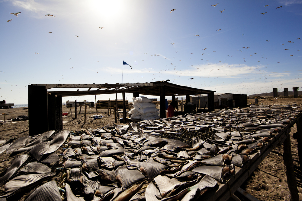 Shark fins set out to dry in the sun: a kilo can fetch up to $1,000 USD to the final consumer, a fisherman gets roughly $15-$30 USD per kilo.