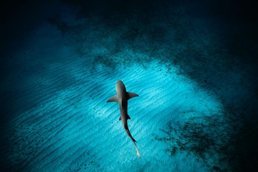 LEMON SHARK  Fotógrafo: Jorge Cervera Hauser Fotografía: 60x40cm Montaje: 100x80cm Algodón