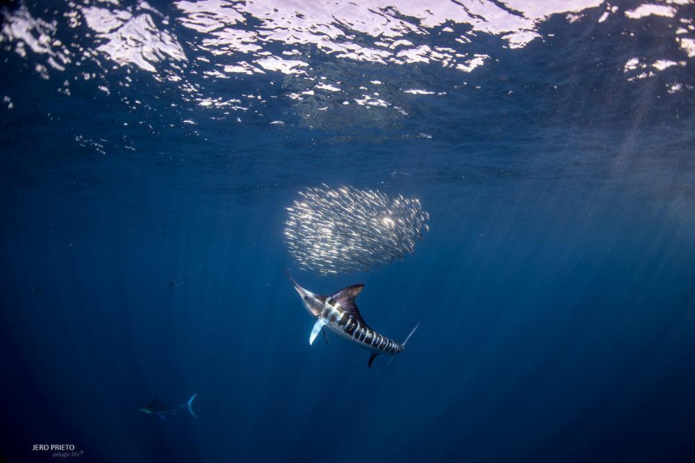JPB 2016 Noviembre, Magbay Marlin Orca-20 (2).JPG