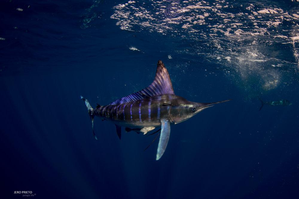 JPB 2016 Noviembre, Magbay Marlin Orca-20 (19).JPG