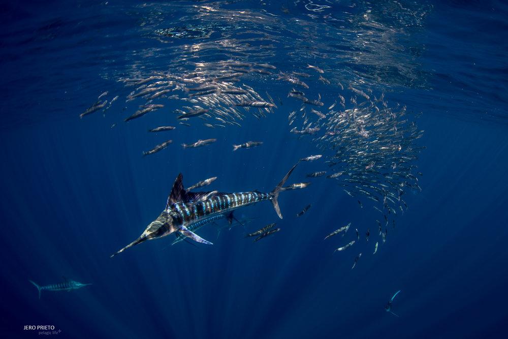 JPB 2016 Noviembre, Magbay Marlin Orca-20 (3).JPG