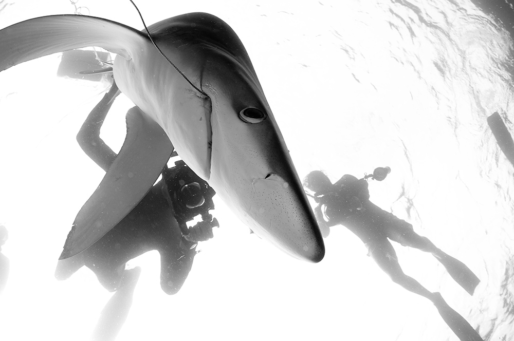 DSC_9850 tiburon azul palangre b&w RFW.jpg