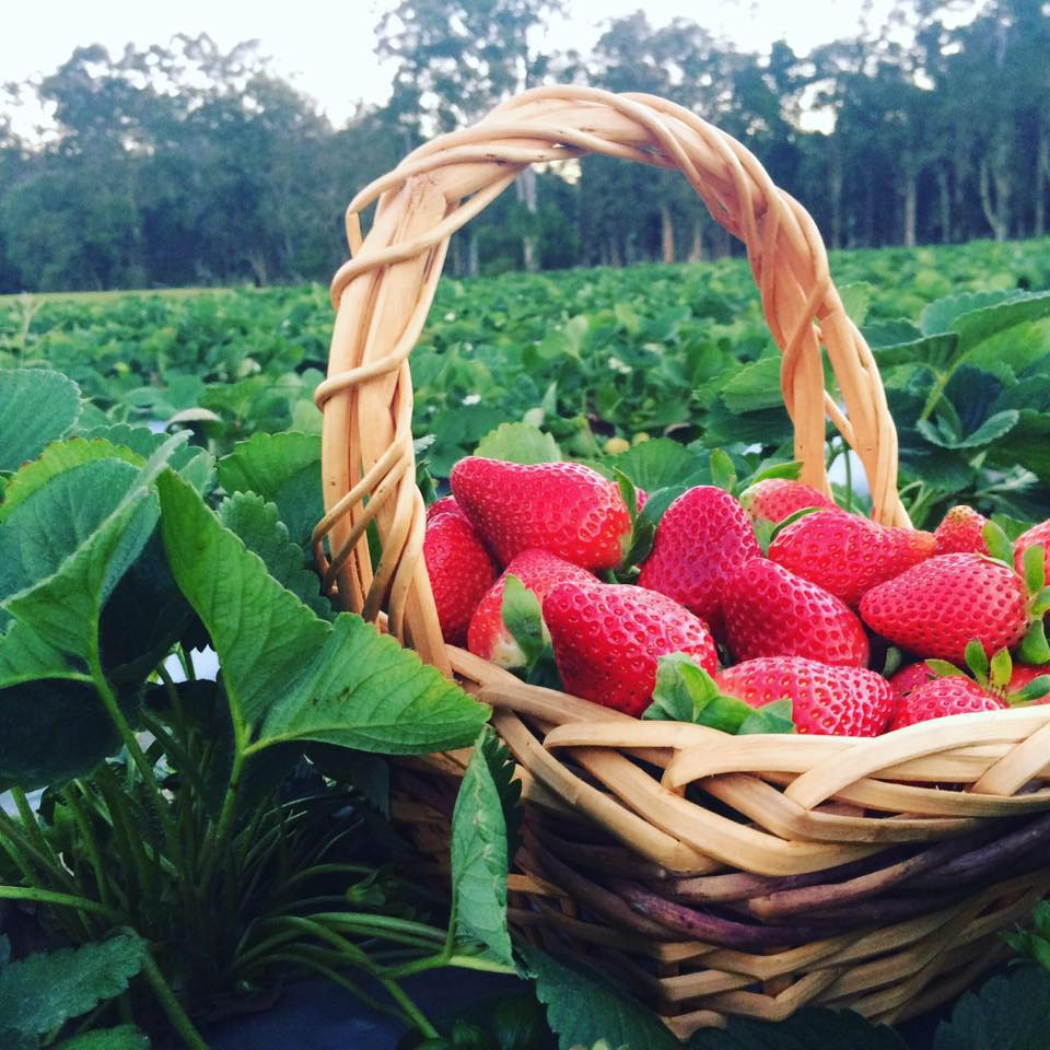 Strawberry season - October to May Photo courtesy: Ashbern Farms