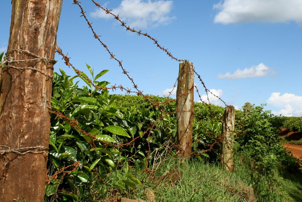 Campos de té en Limuru, Kenia
