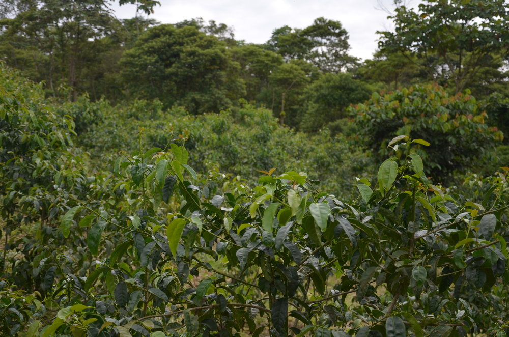 Guayusa leaves growing on Huasquila property