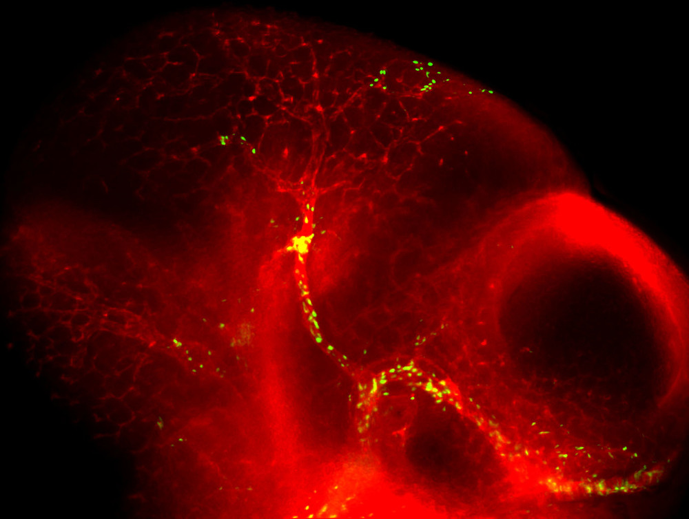 The cranial vasculature of an E10.5 mouse embryo with all vessels labelled in red by IHC for CD31/PECAM, and the arteries labelled by IHC for GFP (Dll4-F2-hsp68::H2B-EGFP).