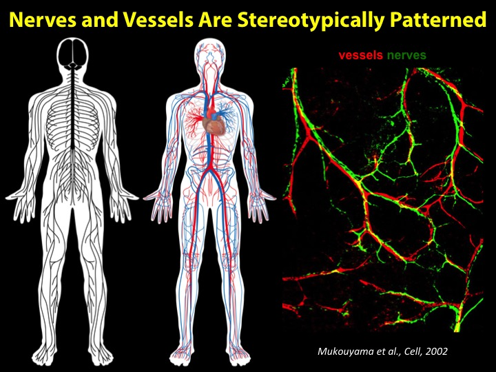 We are also interested in nerve-vessel interactions, from alignment and patterning during development, to their cross-talk in disease settings.