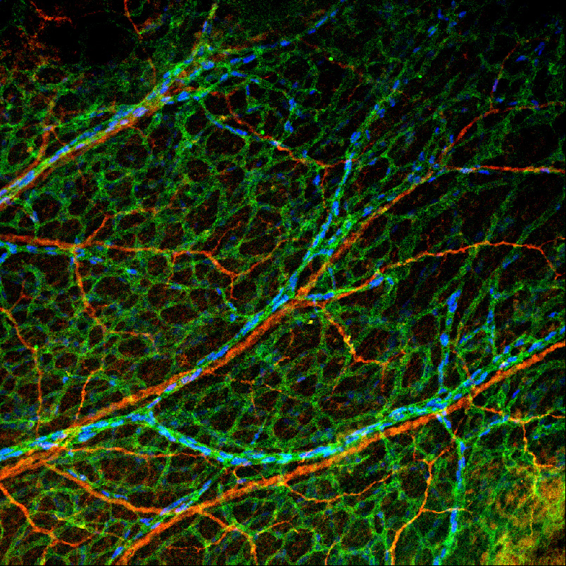 E14.5 mouse forelimb skin with the nerves labeled with Tuj1 (red), endothelial cells labeled with CD31 (green), and Dll4-BAC-nlacZ labeling arteries and capillaries (blue).