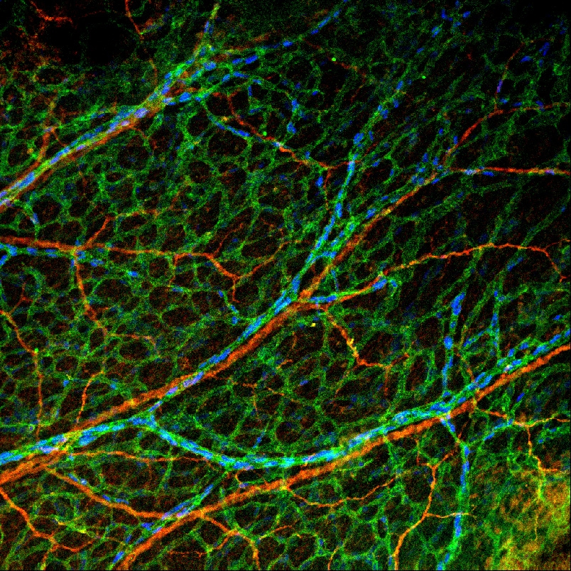 Nerves and arteries align in the mouse forelimb skin. IHC for Dll4-BAC-nls-lacZ (arteries, blue) and CD31 (all endothelial cells, green) and Tuj1 (nerves, red). From Herman et al., 2018.
