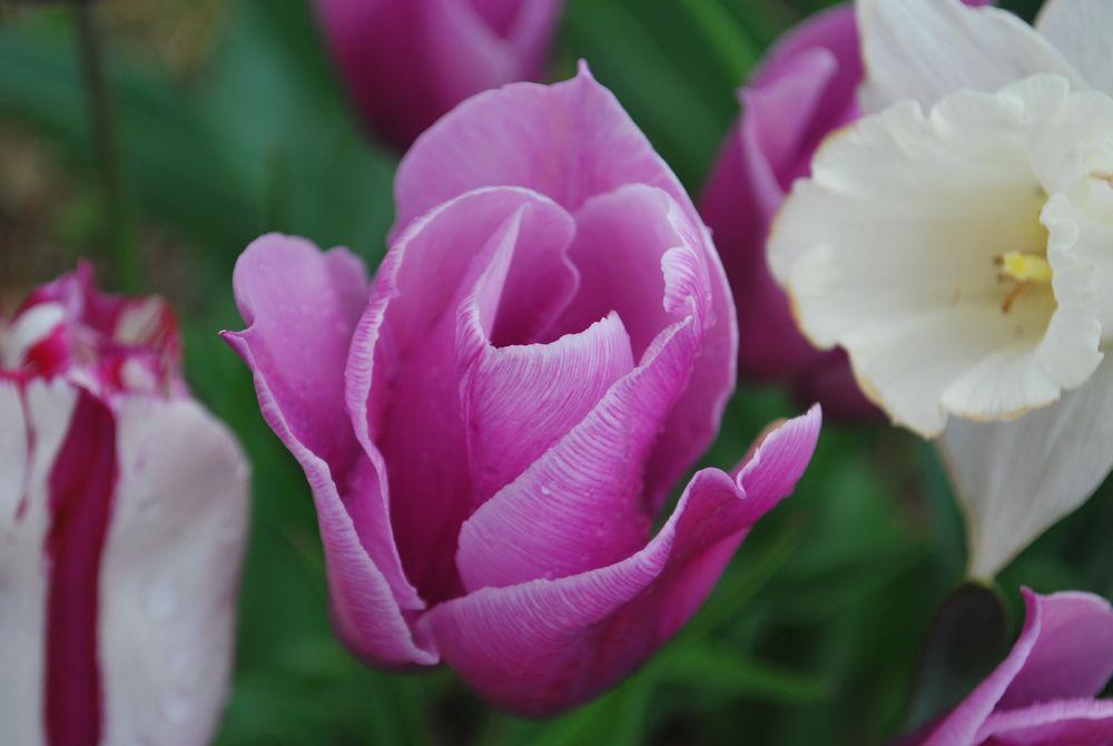 tulip52