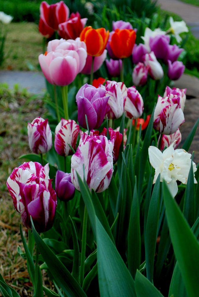 tulip61