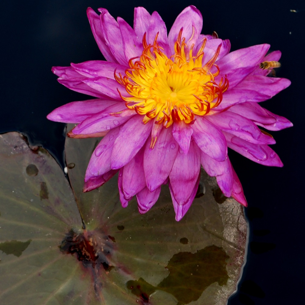 waterlily2 med1
