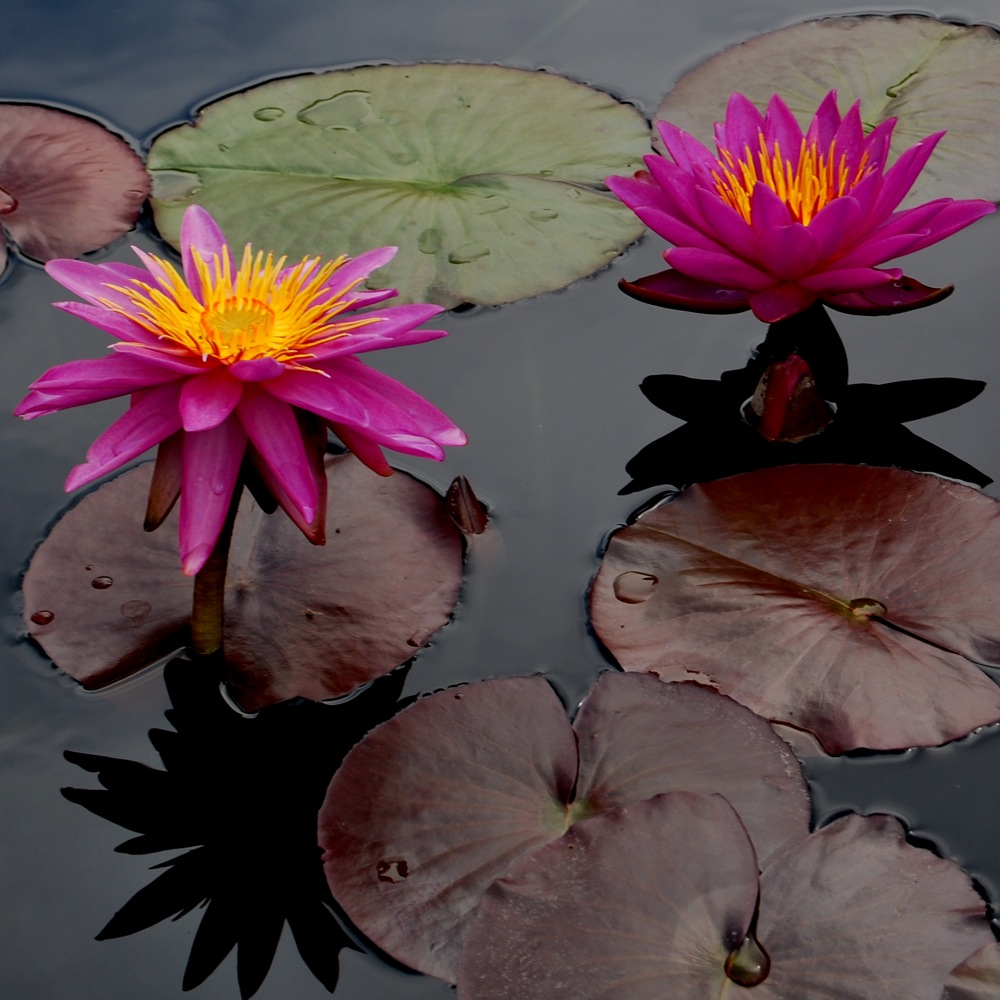 waterlily3 med1