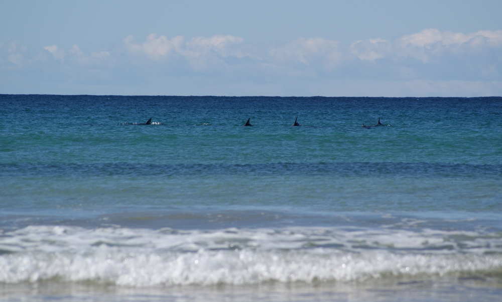 Dolphins of Durras main beach