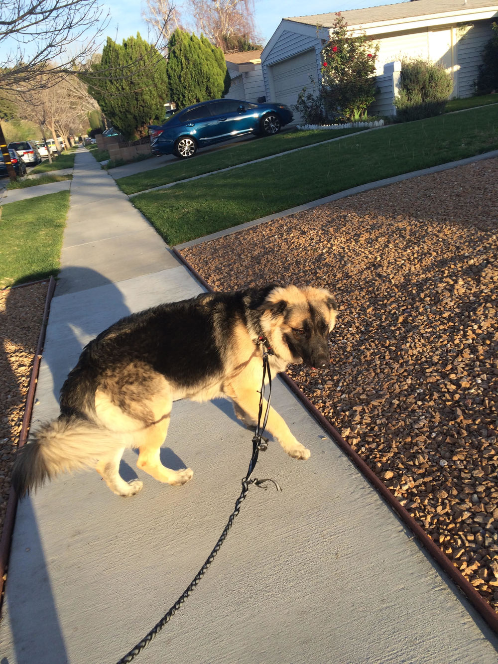 Here's Bear on a walk with me.