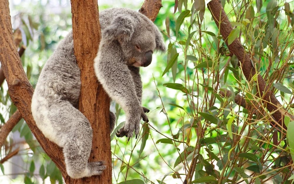 sleeping-koala-animal-hd-wallpaper-2560x1600-23116.jpg