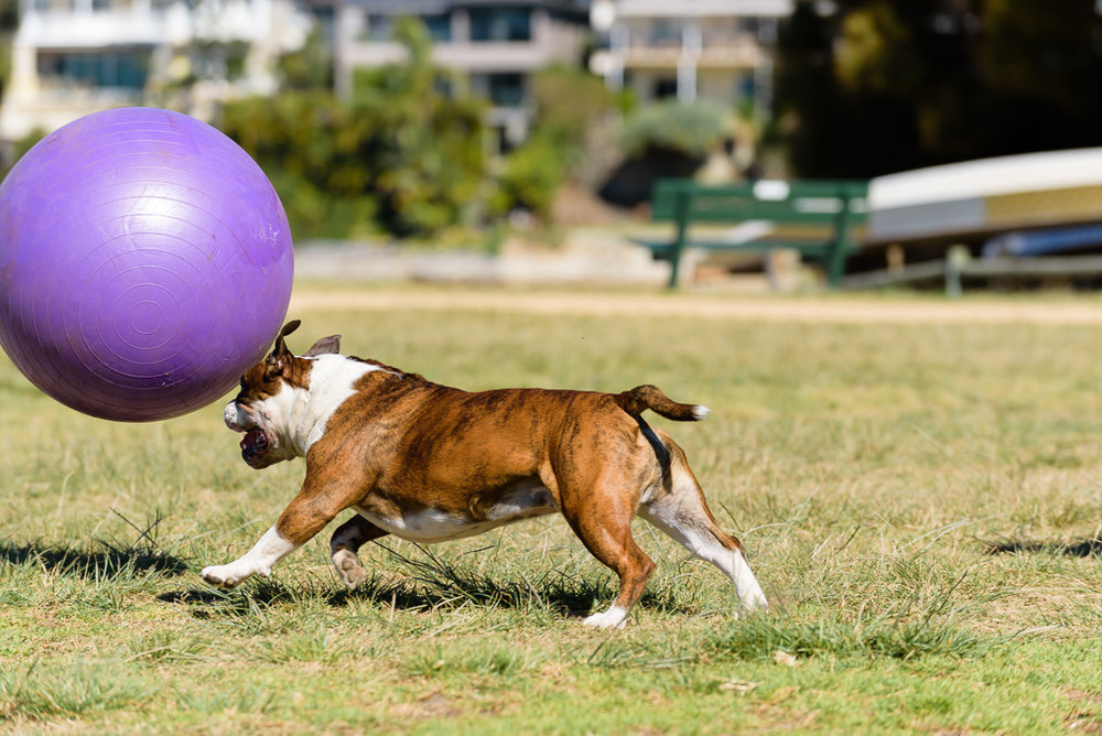 Rocky the bulldog