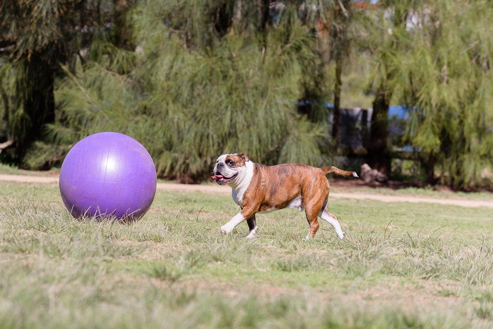 bulldog chasing ball.jpg