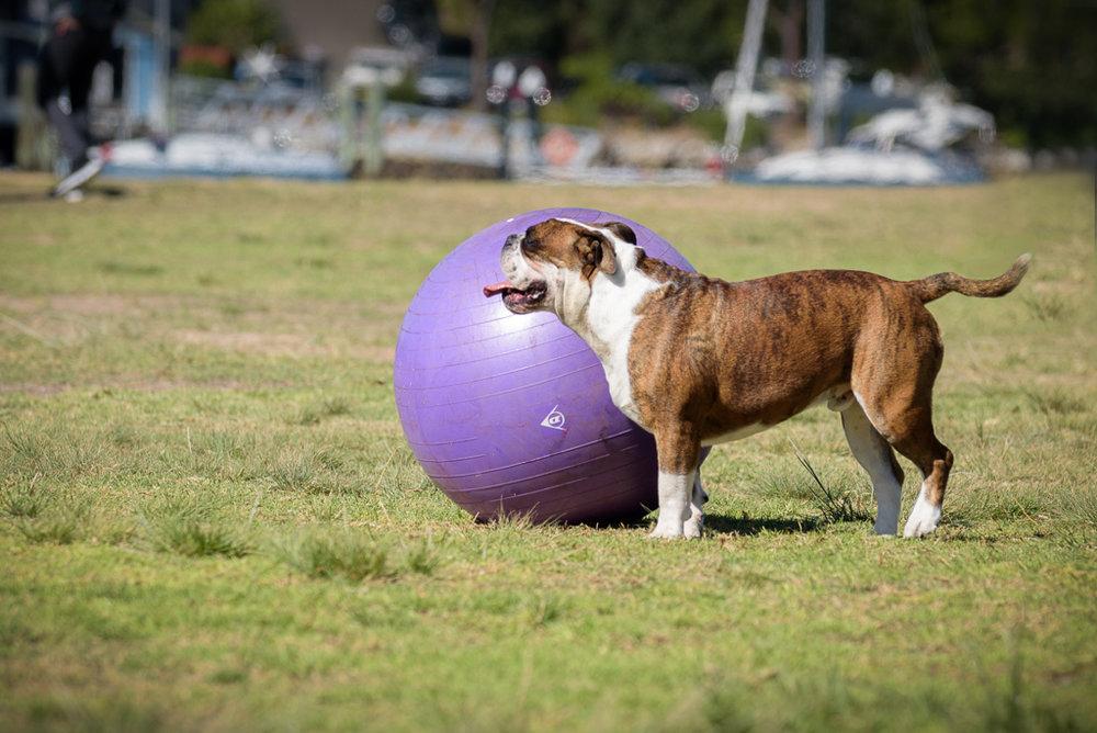 Buudog with his ball.jpg