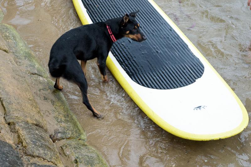 Dog with surfboard.jpg