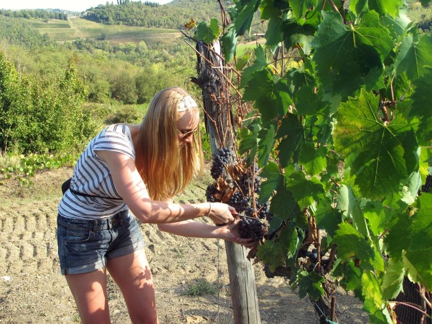 Tuscany_grape picking_imogen picking_3.JPG
