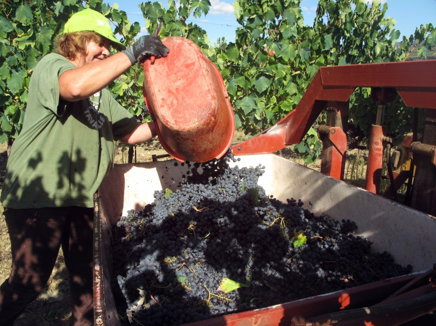 Tuscany_grape picking_woman pouring in grapes.JPG