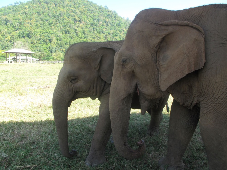 Many of the babies that are rescued and brought to the park are adopted by female elephants in the camp. Some of the surrogate mothers have been separated from their own babies so it's special for both of them. This is an example of that above.