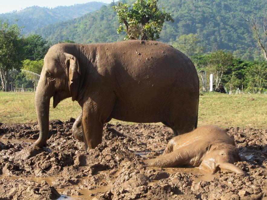 Baby elephant just lovin' that mud