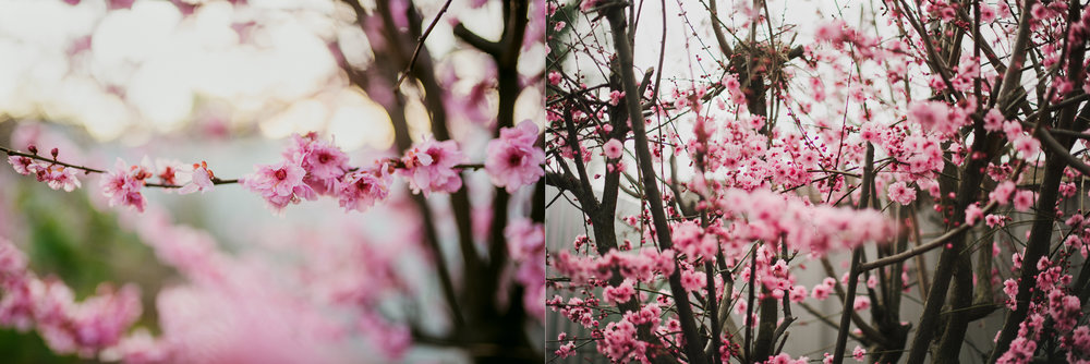 cherry-blossoms-adelaide-photo.jpg