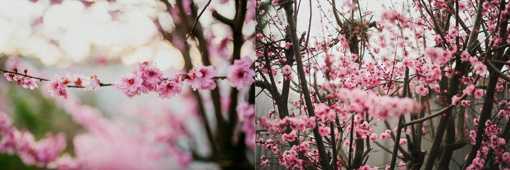 cherry-blossoms-adelaide-photo.jpg
