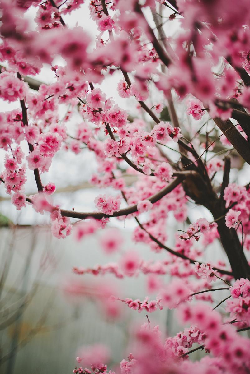 winter-2016-adelaide-photographer-cherryblossoms01.jpg