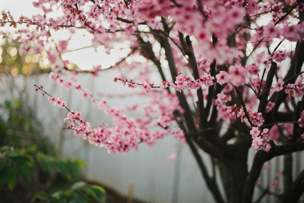 winter-2016-adelaide-photographer-cherryblossoms03.jpg