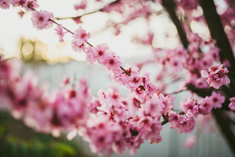 winter-2016-adelaide-photographer-cherryblossoms04.jpg