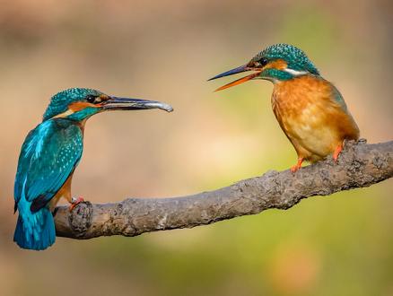 kingfishers.png
