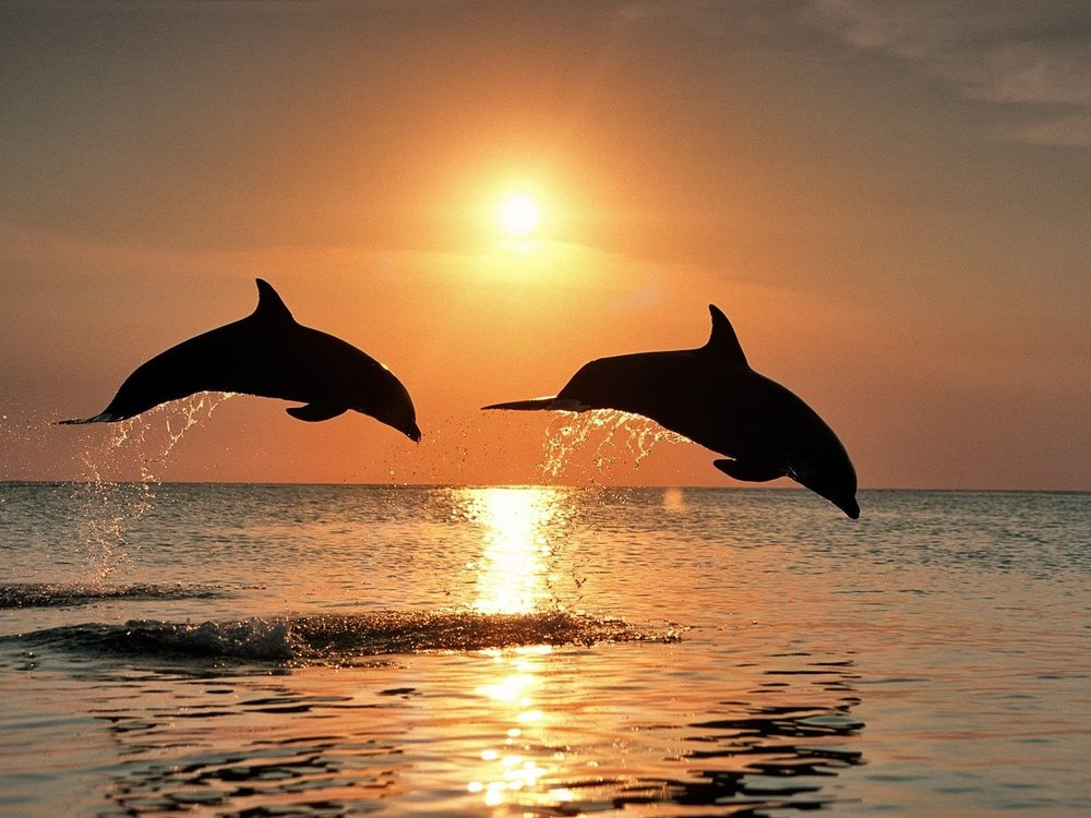 dolphins leaping.jpg