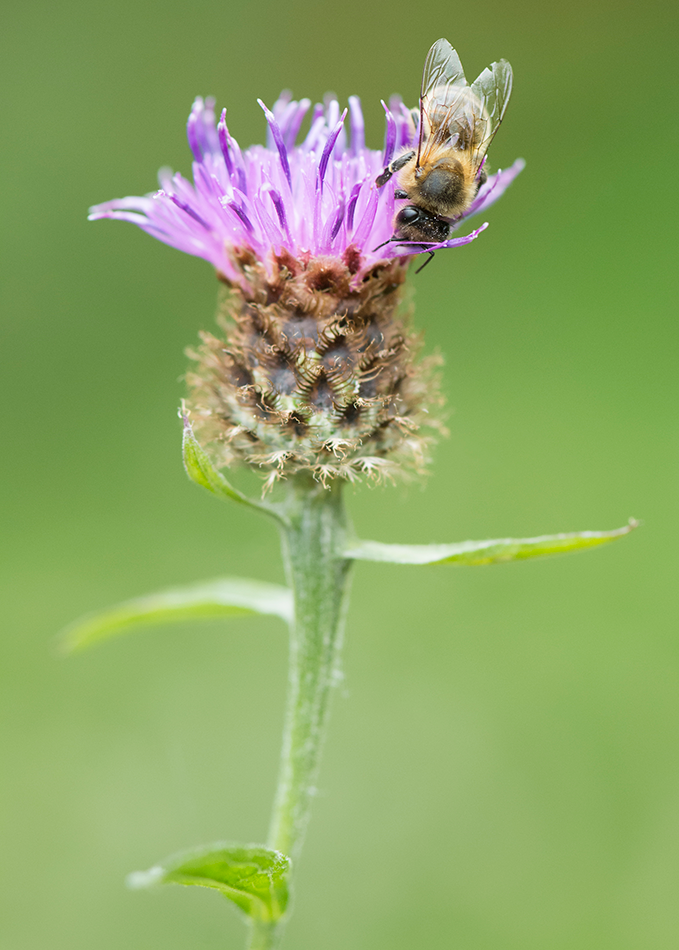 Honeybee foraging on Common Knapweed