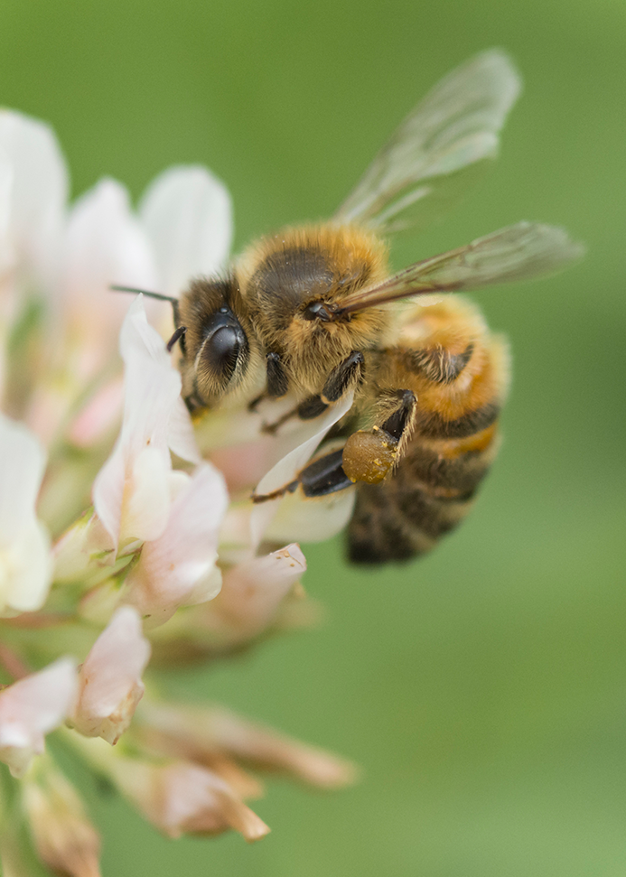 You can see the pollen that this honeybee has collected from the white clover in her pollen basket on her hind legs; clover pollen is very high in protein
